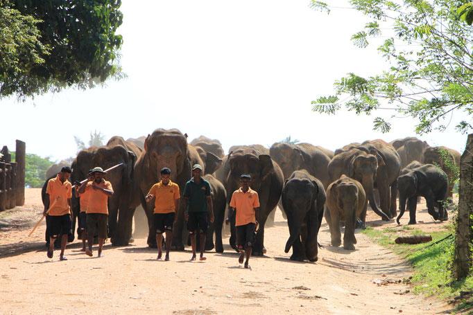 Orphelinat d'éléphants à PINNAWELA.