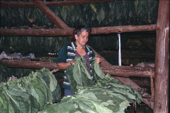 Séchage du tabac à PINAR DEL RIO.
