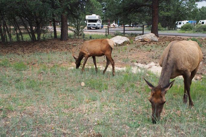グランドキャニオンで出会ったエルク 国立公園は野生動物がたくさん