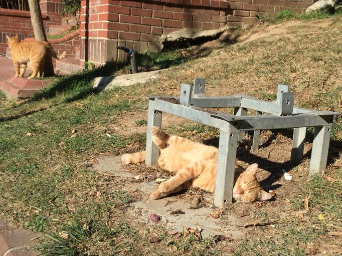 イスタンブールの猫ものんびり自由気ままな感じ 後ろ足のポジショニングがなんともかわいい♡