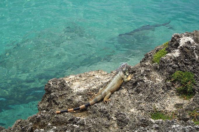 グランドケイマンの海のとても透明度が高くて 目の前を大きな魚が泳いできたり イグアナが近くを歩いてきたり