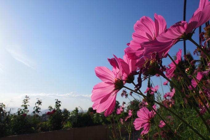 庭園に咲いていたコスモスは 夕方でもエネルギーたっぷりの陽射しを受けていきいきと輝いて見えました