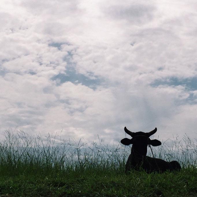 道端で牛さんものんびり...