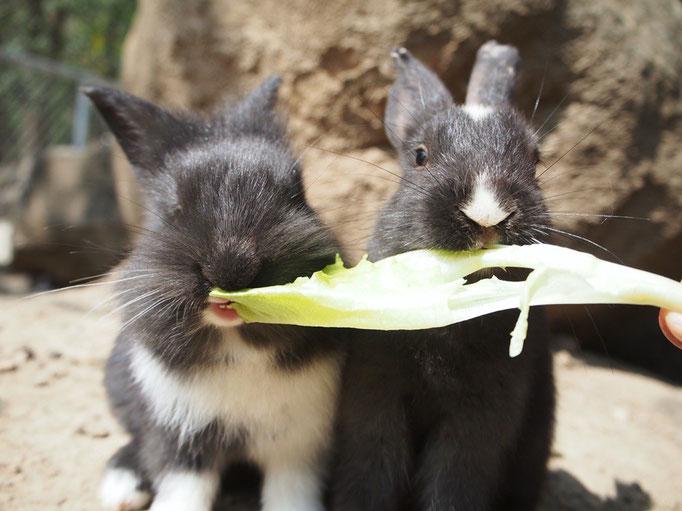 子うさぎも 並んで仲良く野菜をもぐもぐ