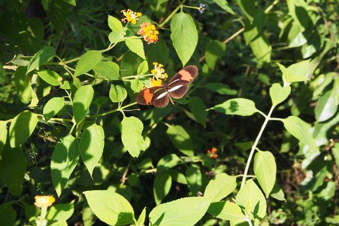 プエルトイグアスからバスに乗りイグアス国立公園へ 公園内は蝶をはじめとして生き物がたくさん