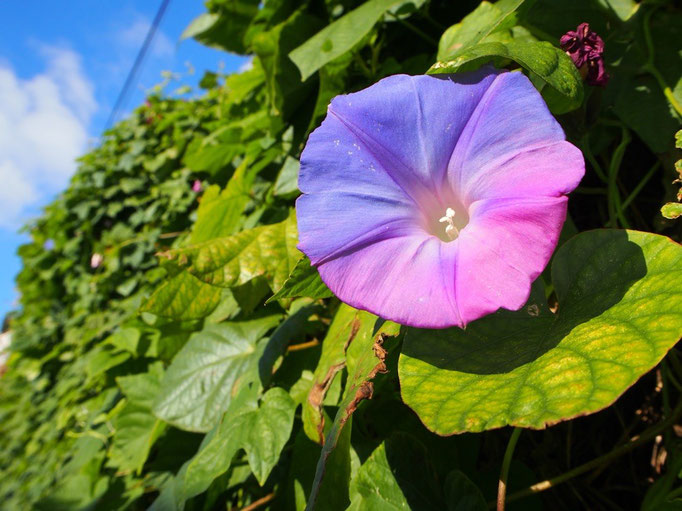 遊歩道までの途中で 綺麗な紫陽花を見つけました