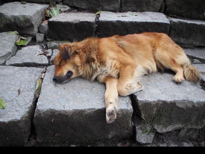マチュピチュからアグアスカリエンテスへは徒歩で帰ってみることに わんこものんびりお昼寝中