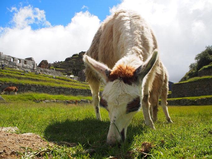 マチュピチュで暮らすリャマさんはチリの会社がコマーシャル撮影用に連れてきたものが増えたのだそう…