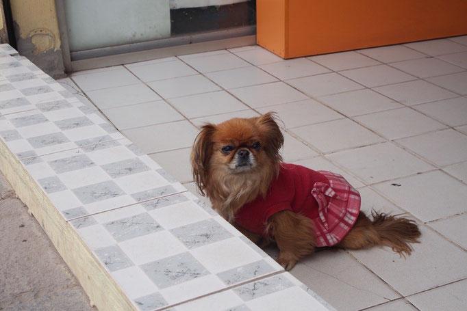 ペルーについてから思ったこと 野良犬ちゃんが小型犬鼻ぺちゃ系でかわいい(このコは飼い犬ちゃんですが...(笑))!