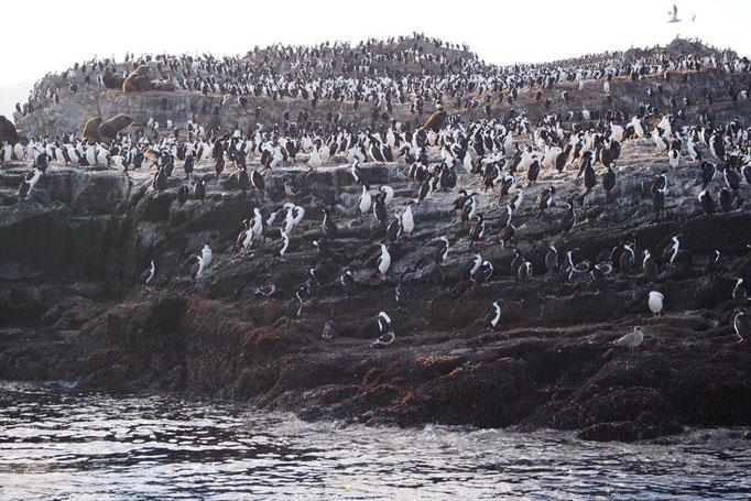 ロスハバロス島にはウミウがたくさん 遠目だとペンギンに見えたので 旦那さんとしばらく勘違いしていました(笑)