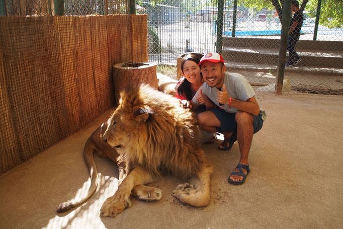 最後はライオン 近くで見ると迫力満点! 顔もこんなに大きい!