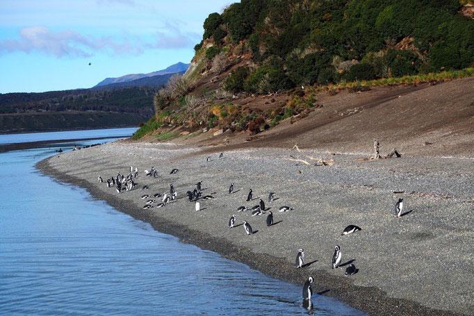 ゲーブル島近くのペンギン生息地へ 島が近づくにつれて たくさんのペンギンが見えてきてわくわく♡