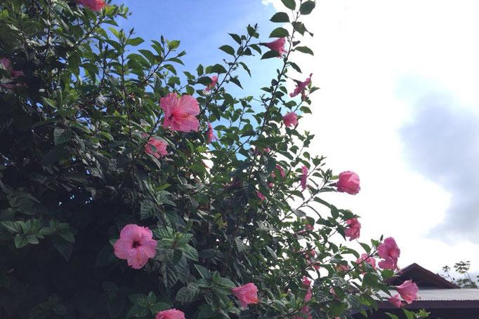 青い空によく映える ピンクのハイビスカス