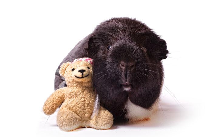 Meerschweinchen mit Teddy