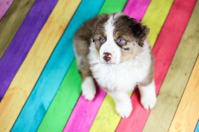 Rhine River's Exotic Export (red merle w/c - male - 30/01/19 - Pixie x Horatio)