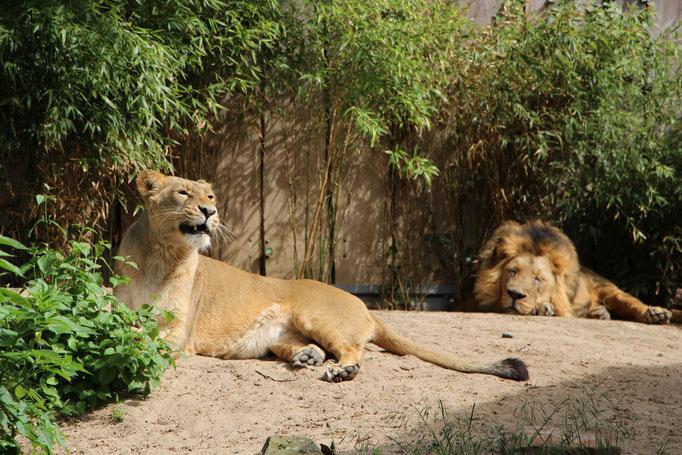 Die Löwen im Katzendschungel im Zoo Frankfurt