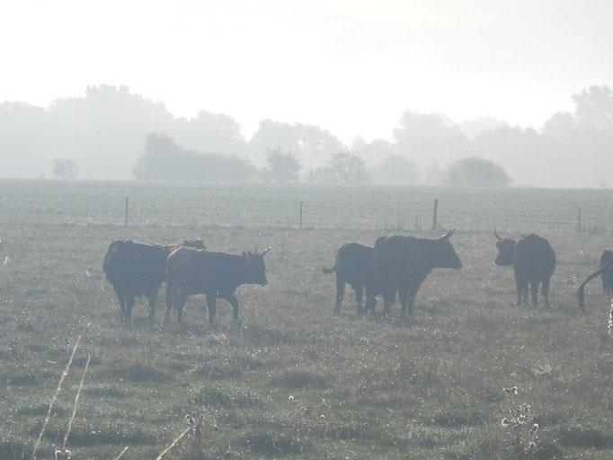 Kühe im Frühnebel, 29.09.2011, (c) Paul Schambach