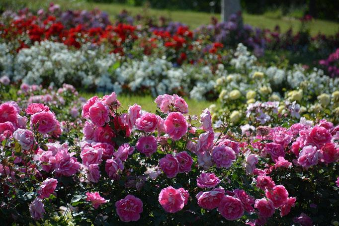 Bodendeckerrosen   www.funke.pflanzen.de