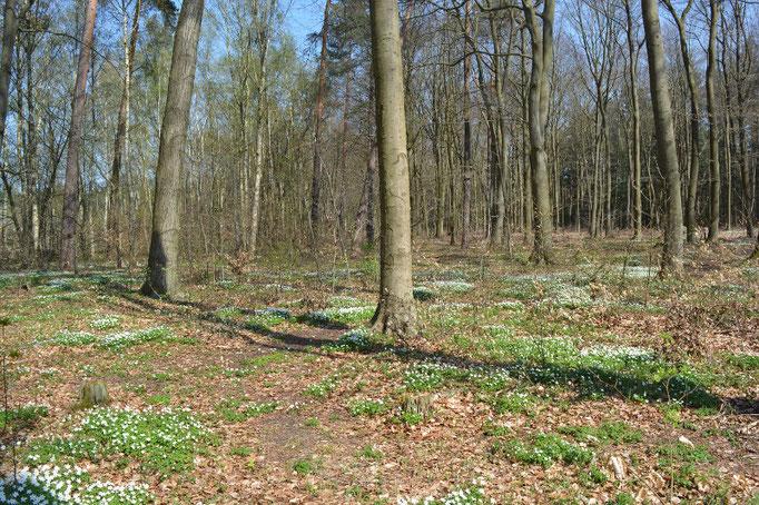 Buschwindröschen im Frühling auf dem Ruheforst Eberswalde