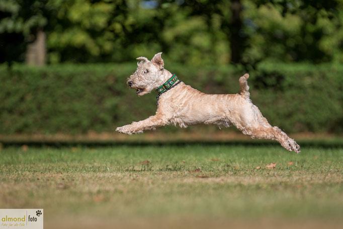 Hundeshooting mit Hilla und Ihre Jungs in Sonsbeck Hamb - Lakeland Terrier