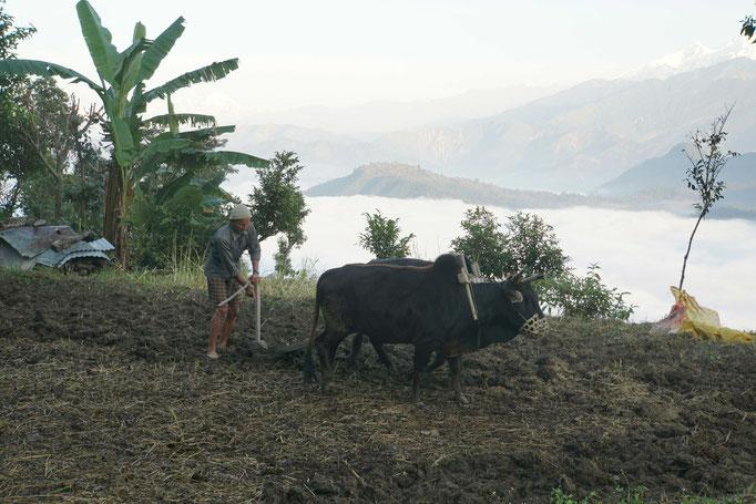 Surats Vater pflügt mit den Ochsen die Felder - das ist nicht Ballenberg-Romantik ** - das ist PURES, REALES LEBEN im Jahr 2016 in Nepal...