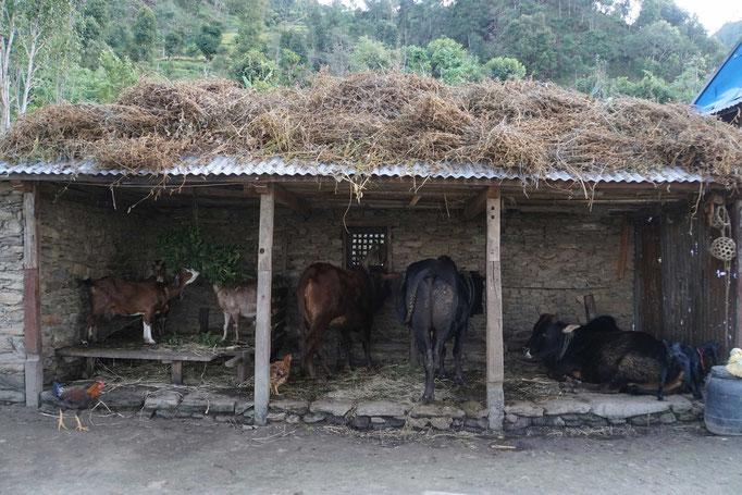 Surats Vater erfreut sich an den Tieren: Der Stolz eines jeden Bauers! Und eine EXTREM WICHTIGE GRUNDLAGE für das Über-Leben hier... Da haben wir was ECHT GUTES gemacht, liebe Freunde, Spenderinnen und Spender!!