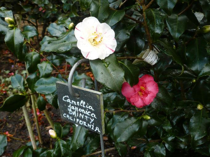 Camellia Dainty california