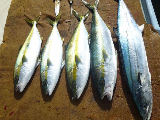 11月5日 満潮7時39分 それまでの釣果 サワラ1匹ヒラゴ他