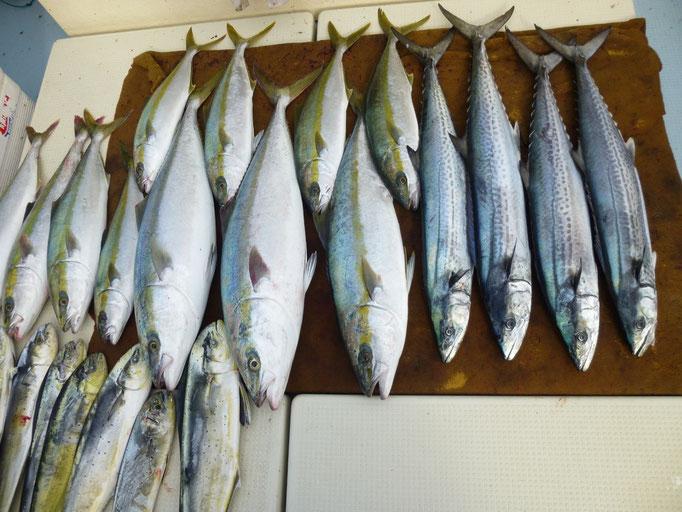 11月6日今日の釣果サワラ・ブリ・ヒラマサ・ヒラゴ・ワラサ・シイラ