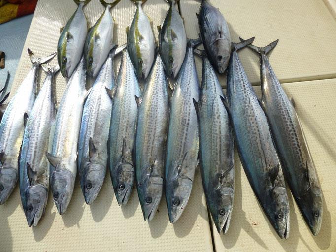 11月21日今日の釣果サワラ10匹・ワラサ4匹