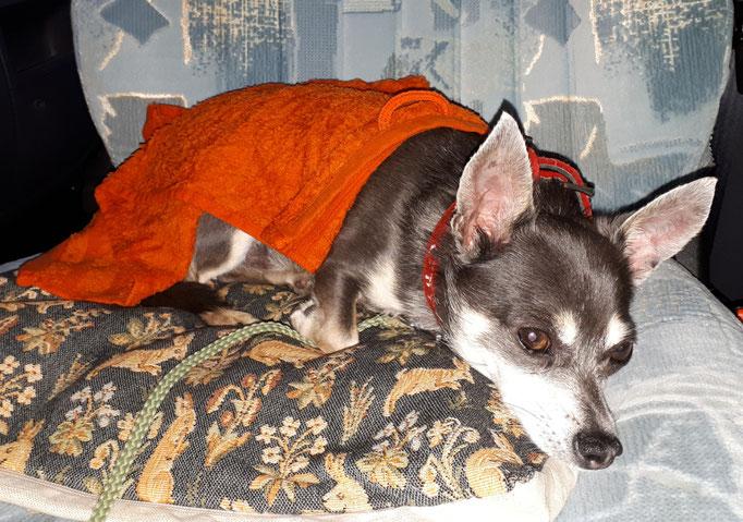 Barny kühlt sich mit einem nassen Handtuch  ab. Gefühlte 32 Grad.