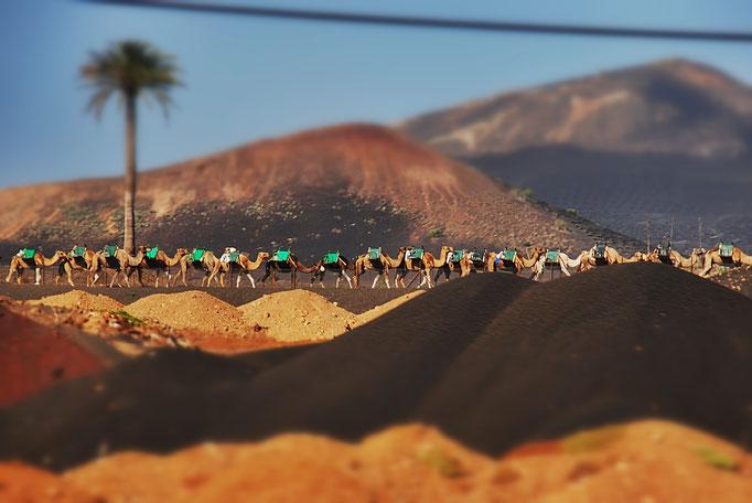 Kamelkarawane Lanzarote
