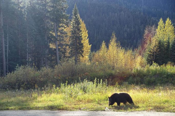 Der Schwarzbär
