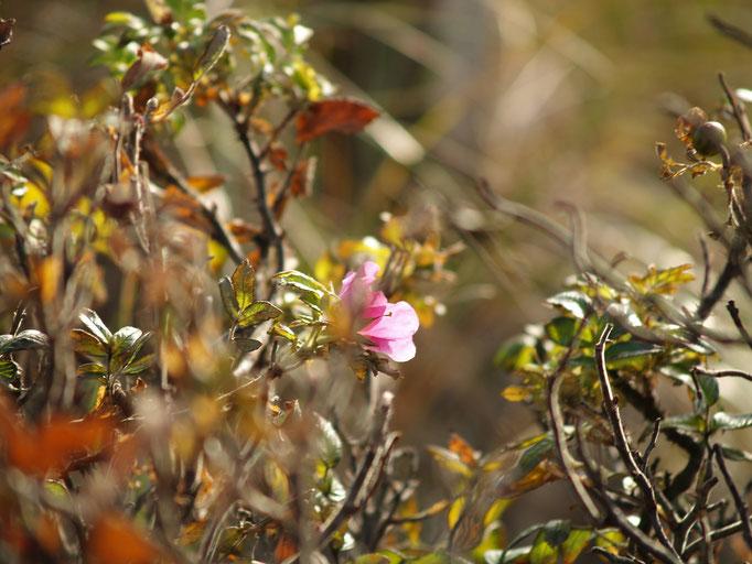Die letzten Wildrosenblüten des Jahres