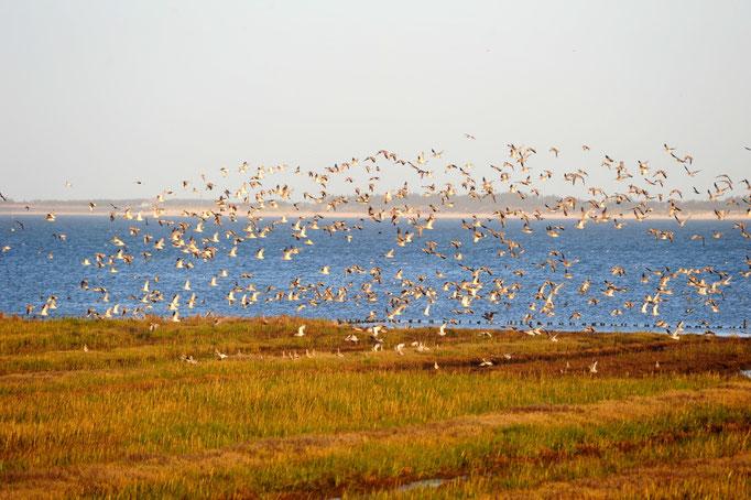 Vögel am Watt