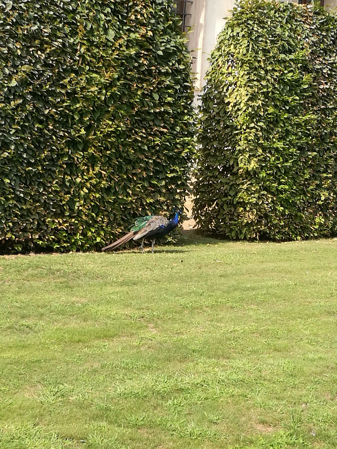 Die berühmten Pfauen im Garten des Palais Waldstein