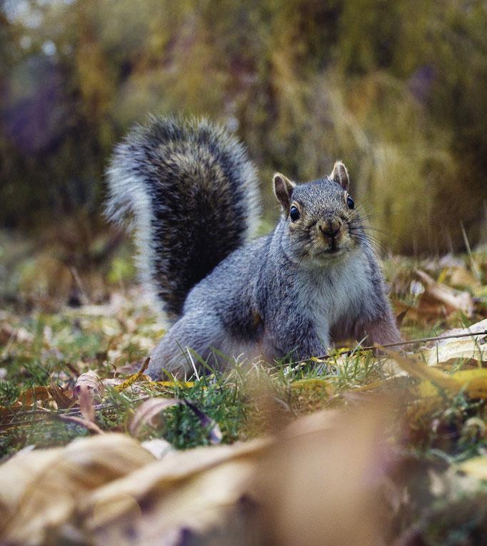 Squirrel in Regent's Park, London.