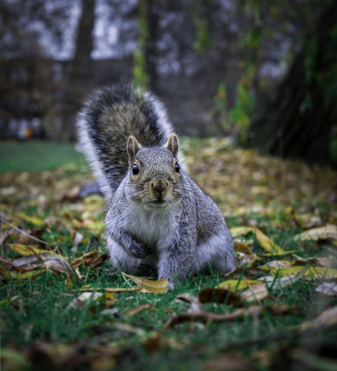 Squirrel in Regent's Park, London.