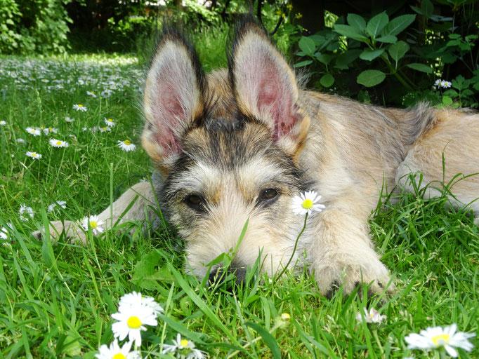 Berger de Picardie Welpe hört dem Gras beim Wachsen zu