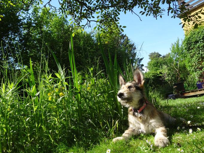 Berger de Picardie im Garten