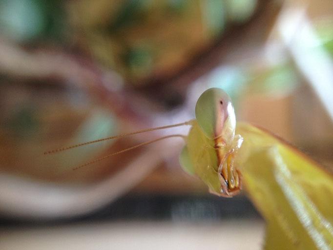 Mantis III