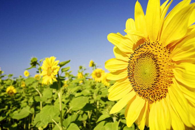 Sonnenblumenfeld Dänischer Wohld