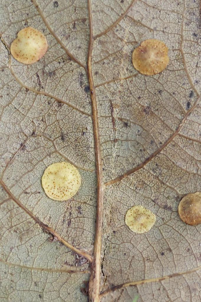 Eichenblatt mit Gallen