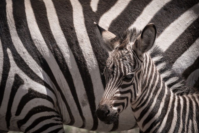 Zebra, Ngorongoro