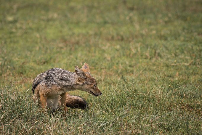 Jackal, Schakal, Ngorongoro
