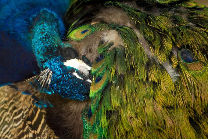 Pfau, Peacock (Pavo cristatus)