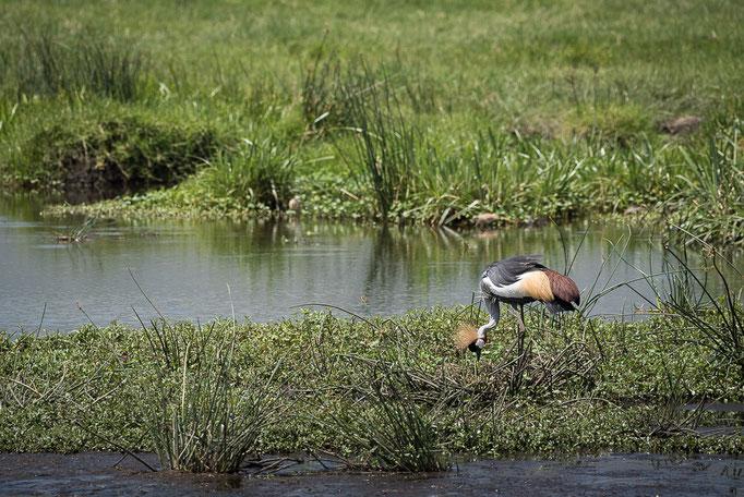 Crane, Kranich Ngorongoro