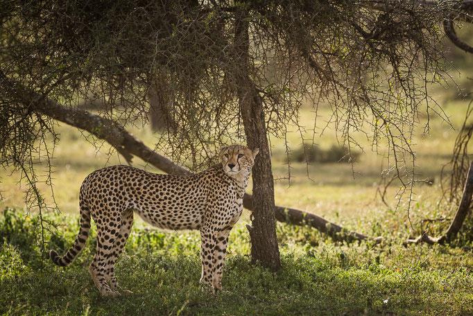 Cheetah, Gepard, Ndutu