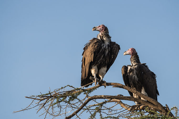 Vultures, Geier, Ngorongoro Conservation Area