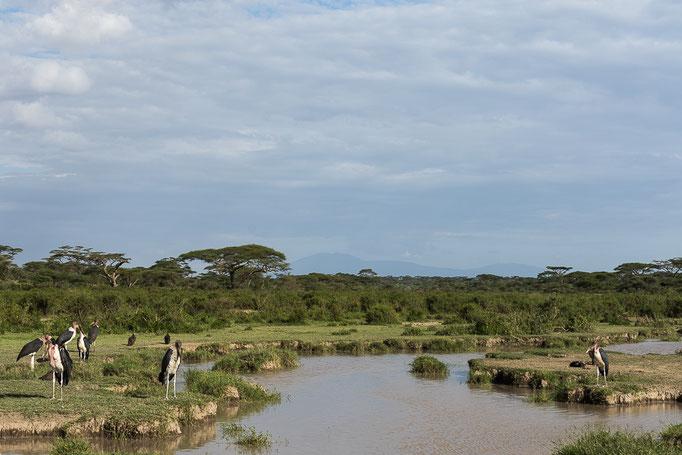 Marabus, Ndutu, Ngorongoro Conservation Area